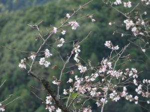 桜山公園 冬桜