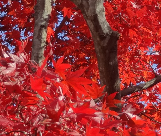 紅葉山公園 紅葉