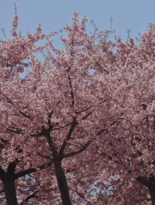 いせさき市民の森 河津桜