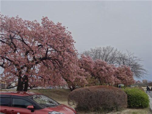 敷島緑地 河津桜