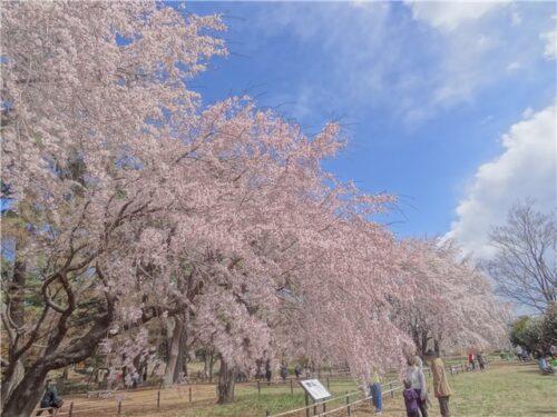 敷島公園のしだれ桜 前橋市