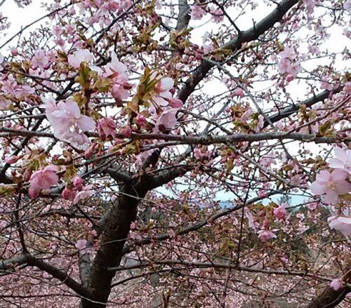 道の駅みょうぎ 河津桜