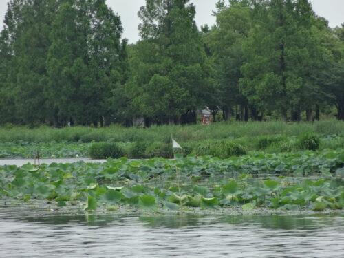 城沼のハス